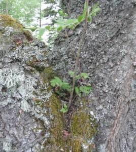 En rönn har planterat sig i ett körsbärsträd